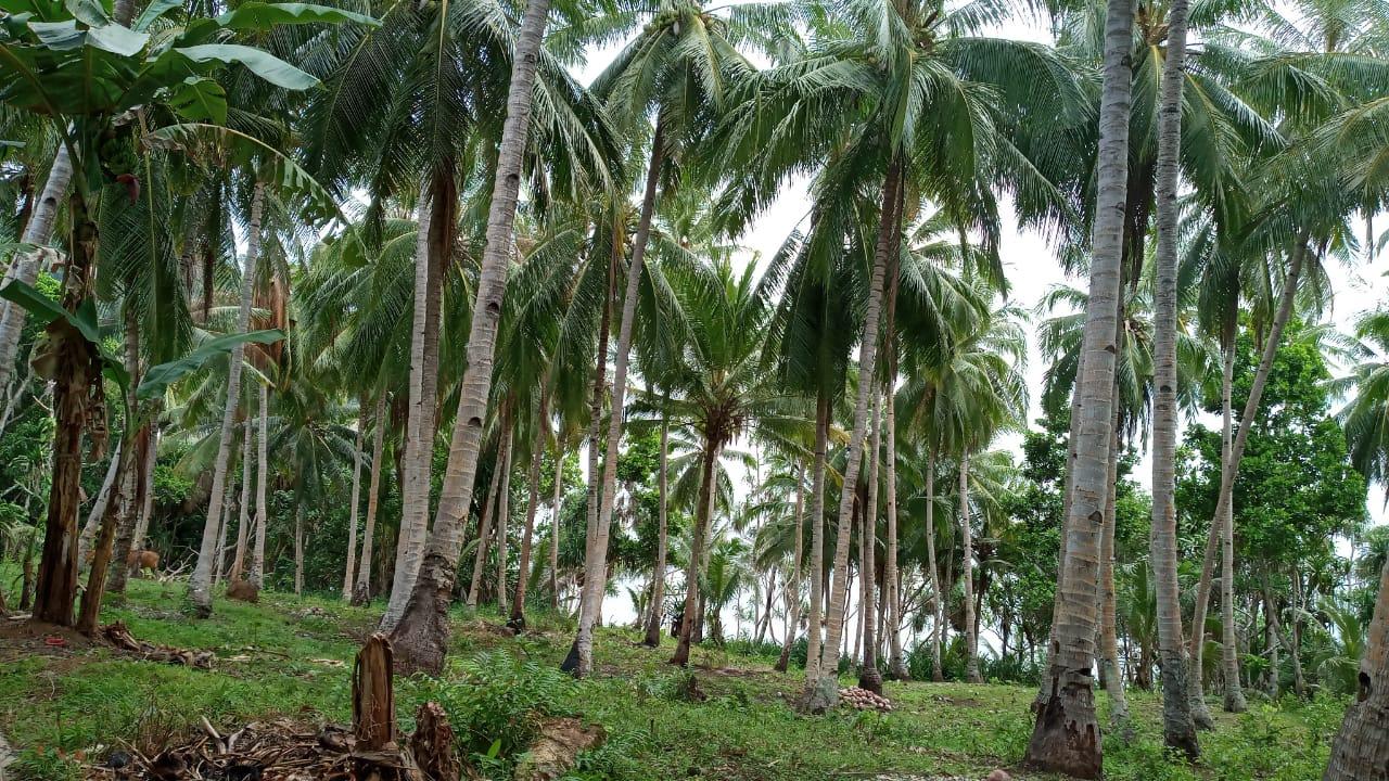 Potensi Perkebunan Desa Lautang Kecamatan Banda